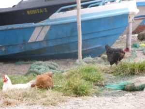 Criolla Chickens On The Loose: Ecuador